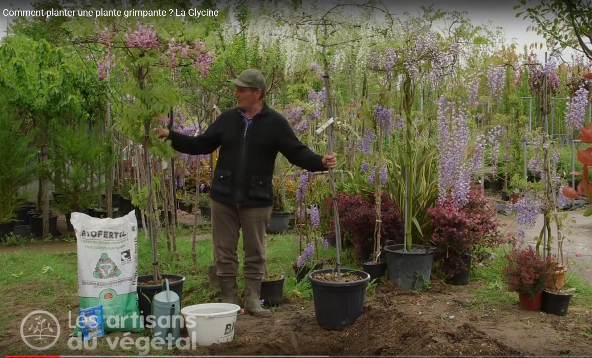 Une Glycine En Pot comment planter une plante grimpante ? exemple de la glycine